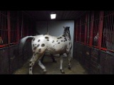 продажа породистых лошадей!